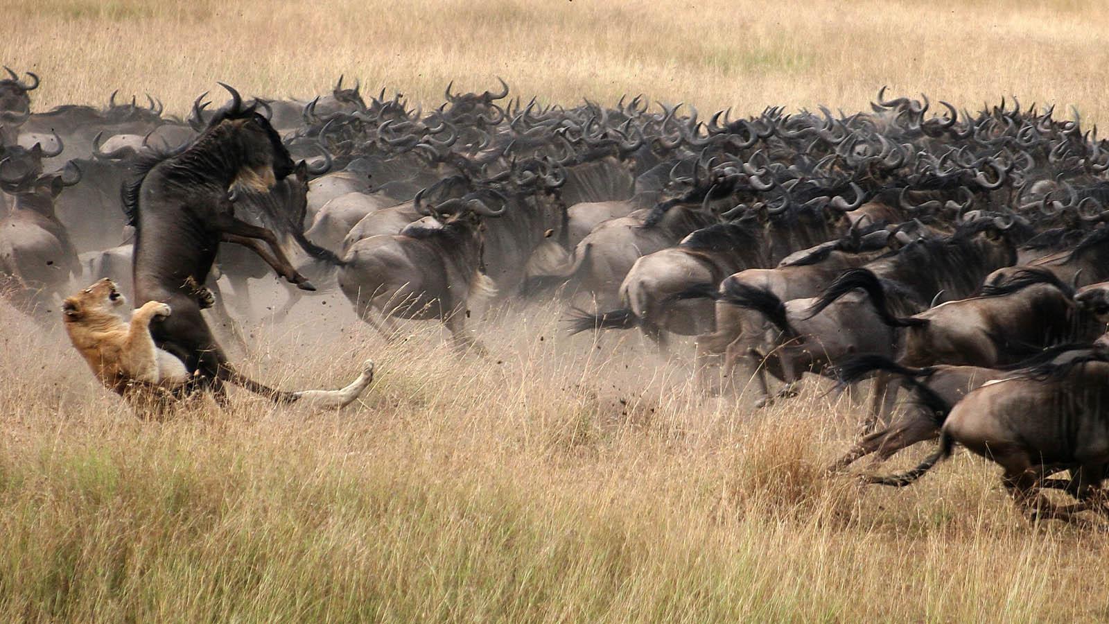 The Great wildebeest migration 8